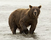 Bears of Lake Clark National Park, Alaska : Silver Salmon Creek Lodge is located in the Lake Clark National Park and allows one to photograph the Coastal Brown Bears (Grizzlies) as they fish and clam.